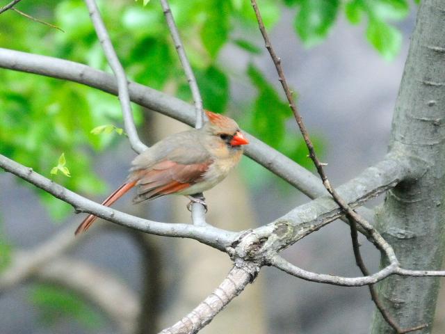⑤ ショウジョウコウカンチョウ ♀ 成鳥 セントラル・パーク ニューヨーク 米国 Newyork, America 2013/05/13 Photo by Kohyuh