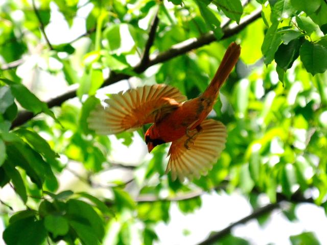 ⑦ ショウジョウコウカンチョウ ♂ 成鳥 セントラル・パーク ニューヨーク 米国 Newyork, America 2013/05/13 Photo by Kohyuh