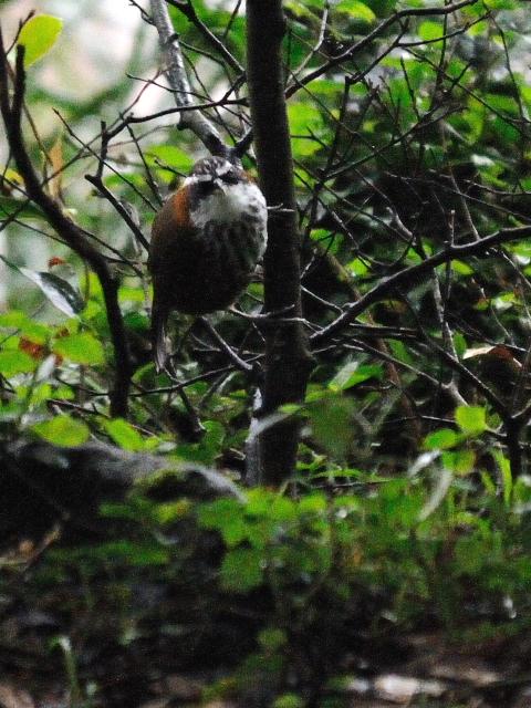 ① ヒメマルハシ 成鳥 陽明山国家公園 台湾 Yangmingshan National Park, Taiwan 2012/11/21 Photo by Kohyuh