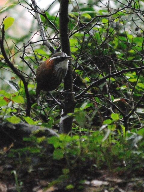 ② ヒメマルハシ 成鳥 陽明山国家公園 台湾 Yangmingshan National Park, Taiwan 2012/11/21 Photo by Kohyuh