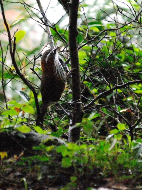 ③ ヒメマルハシ 成鳥 陽明山国家公園 台湾 Yangmingshan National Park, Taiwan 2012/11/21 Photo by Kohyuh