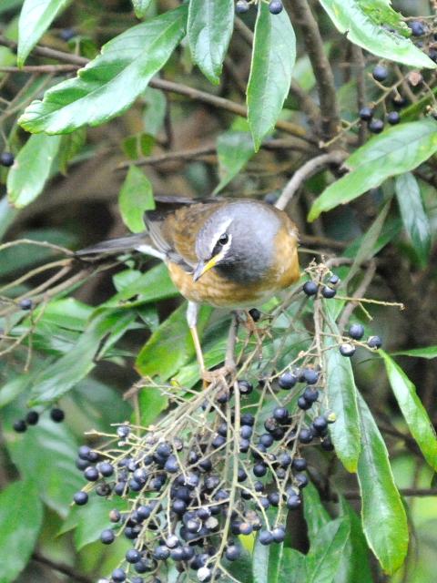 ② マミチャジナイ ♂ 成鳥 陽明山国家公園 台湾 Yangmingshan National Park, Taiwan 2012/11/21 Photo by Kohyuh