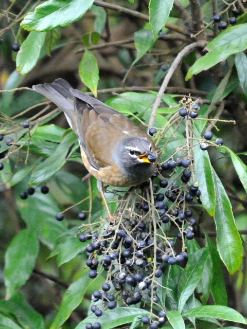 ③ マミチャジナイ ♂ 成鳥 陽明山国家公園 台湾 Yangmingshan National Park, Taiwan 2012/11/21 Photo by Kohyuh