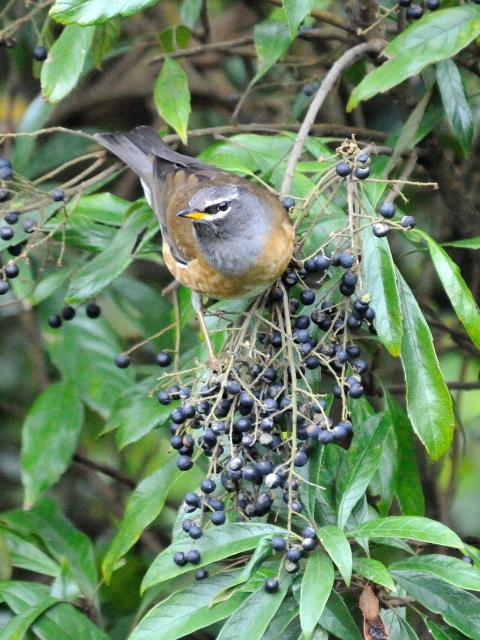 ④ マミチャジナイ ♂ 成鳥 陽明山国家公園 台湾 Yangmingshan National Park, Taiwan 2012/11/21 Photo by Kohyuh