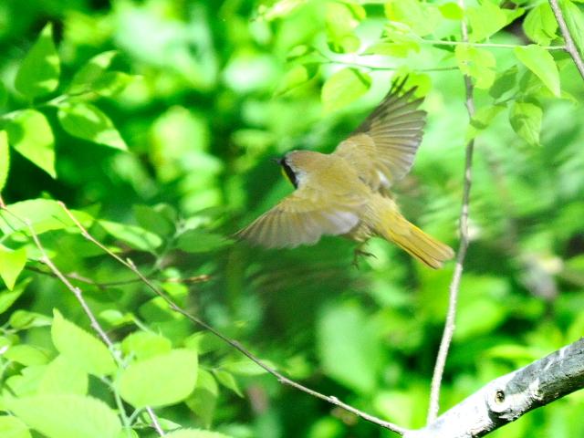④ カオグロアメリカムシクイ ♂ 成鳥 セントラル・パーク ニューヨーク 米国 Newyork, America 2013/05/13 Photo by Kohyuh