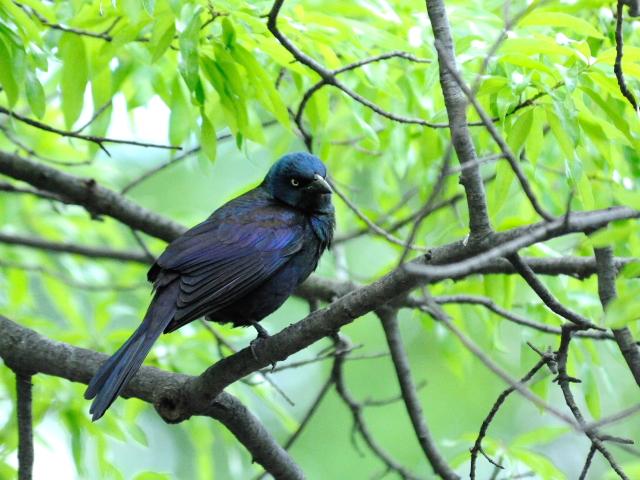 ① テリムクドリモドキ ♂ 成鳥 セントラル・パーク ニューヨーク 米国 Central park, Newyork, America 2013/05/13 Photo by Kohyuh