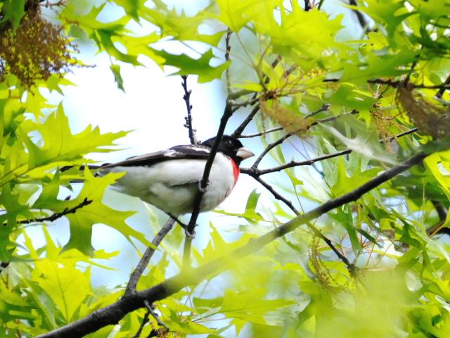 ① ムネアカイカル ♂ 成鳥 セントラル・パーク 米国 Central park, Newyork, America 2013/05/13 Photo by Kohyuh