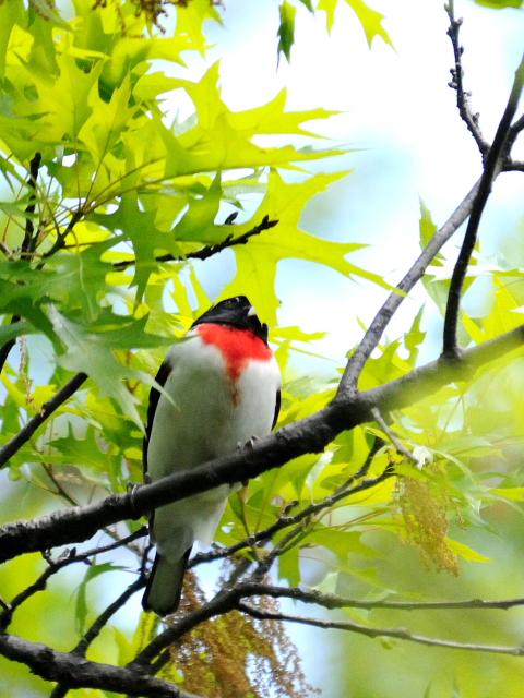 ② ムネアカイカル ♂ 成鳥 セントラル・パーク 米国 Central park, Newyork, America 2013/05/13 Photo by Kohyuh