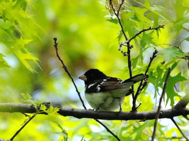 ③ ムネアカイカル ♂ 成鳥 セントラル・パーク 米国 Central park, Newyork, America 2013/05/13 Photo by Kohyuh