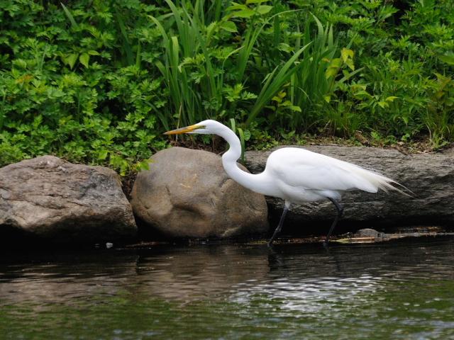 ① ダイサギ 成鳥 セントラル・パーク >ニューヨーク 米国 Central park, Newyork, America 2013/05/13 Photo by Kohyuh
