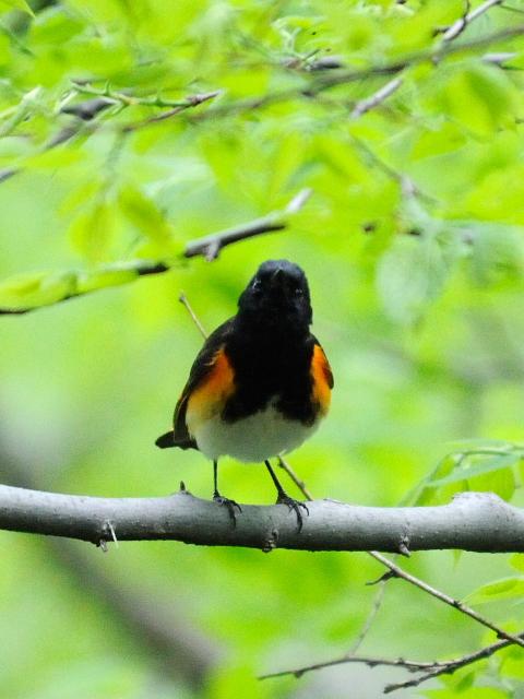 ① ハゴロモムシクイ ♂ 成鳥 セントラル・パーク >ニューヨーク 米国 Central park, Newyork, America 2013/05/13 Photo by Kohyuh