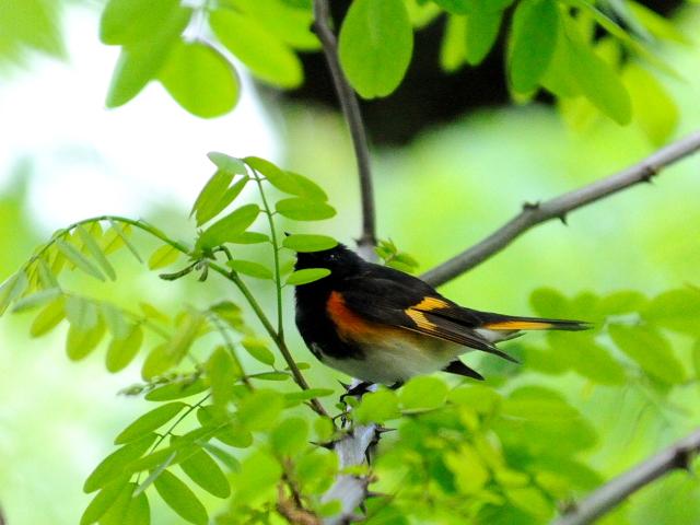 ② ハゴロモムシクイ ♂ 成鳥 セントラル・パーク >ニューヨーク 米国 Central park, Newyork, America 2013/05/13 Photo by Kohyuh