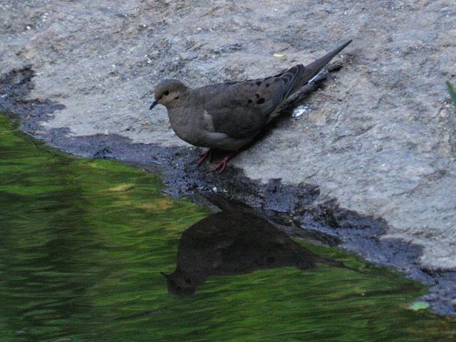 ① ナゲキバト 成鳥 セントラル・パーク ニューヨーク 米国 Central park, Newyork, America 2013/05/13 Photo by Kohyuh