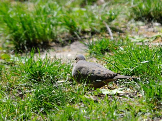 ④ ナゲキバト 成鳥 セントラル・パーク ニューヨーク 米国 Central park, Newyork, America 2013/05/13 Photo by Kohyuh
