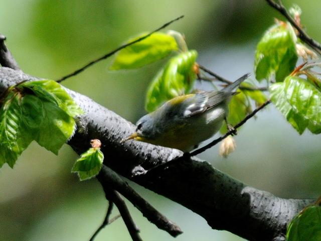 ③ アサギアメリカムシクイ ♀ 成鳥 セントラル・パーク ニューヨーク 米国 Central park, Newyork, America 2013/05/13 Photo by Kohyuh