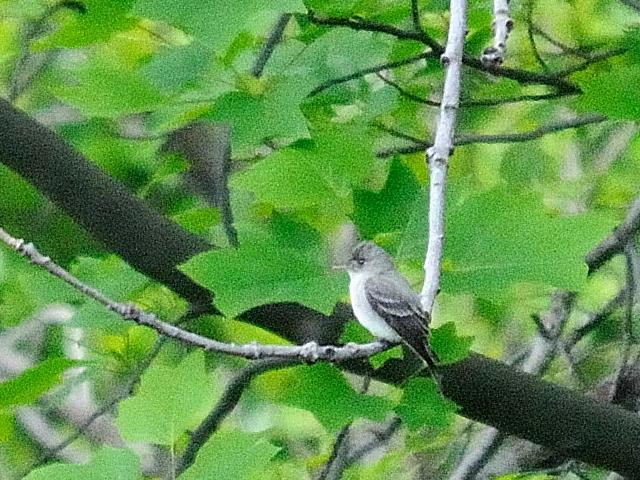 ① ナキヒタキモドキ 成鳥 セントラル・パーク ニューヨーク 米国 Central park, Newyork, America 2013/05/13 Photo by Kohyuh