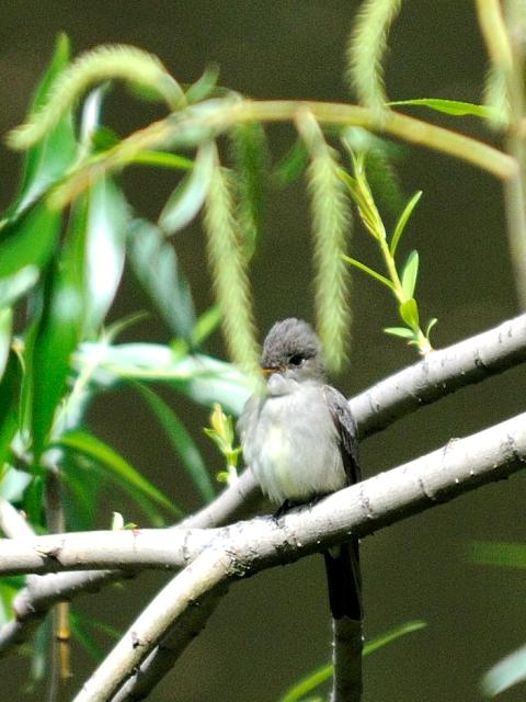 ④ ナキヒタキモドキ 成鳥 セントラル・パーク ニューヨーク 米国 Central park, Newyork, America 2013/05/13 Photo by Kohyuh