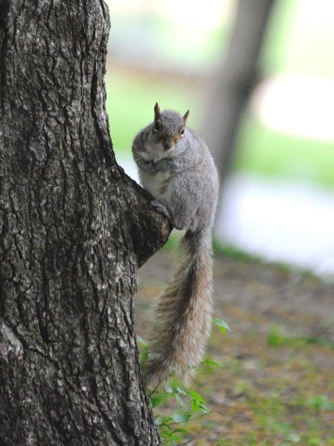 ハイイロリス (2) Grau squirrel (Acsiurus caroolinensis) セントラル・パーク ニューヨーク 米国 Central park, Newyork, America 2013/05/13 Photo by Kohyuh