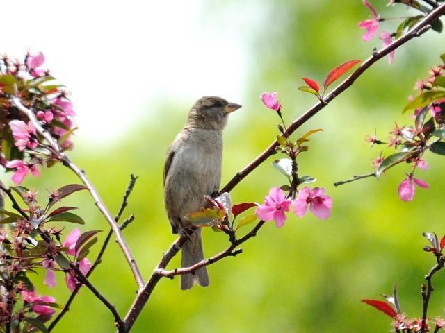 ② イエスズメ ♀ 成鳥 ニューヨーク 米国 Newyork, America 2013/05/11 Photo by Kohyuh