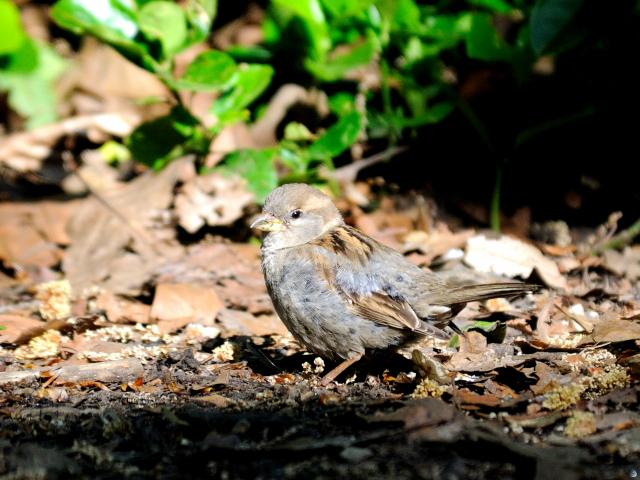 ⑥ イエスズメ ♂ 成鳥 セントラル・パーク ニューヨーク 米国 Central park, Newyork, America 2013/05/13 Photo by Kohyuh
