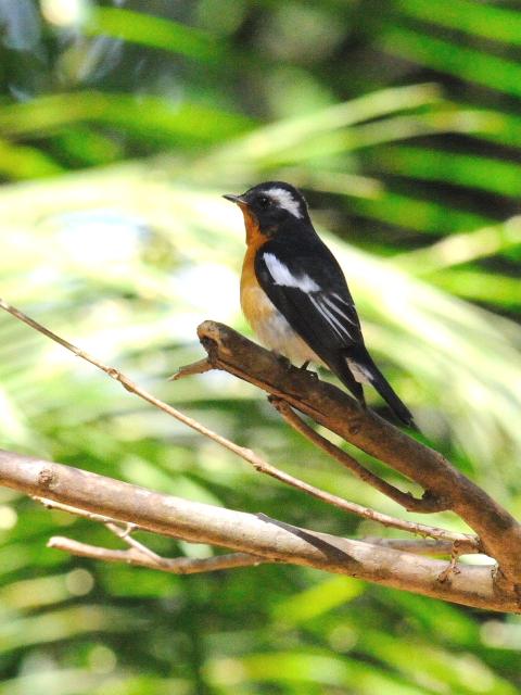 ① ムギマキ ♂ 成鳥 カオヤイ国立公園 タイ Khao Yai National Park, Thailand< 2014/01/28 Photo by Kohyuh
