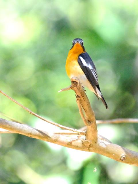 ③ ムギマキ ♂ 成鳥 カオヤイ国立公園 タイ Khao Yai National Park, Thailand< 2014/01/28 Photo by Kohyuh