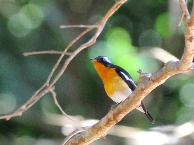 ④ ムギマキ ♂ 成鳥 カオヤイ国立公園 タイ Khao Yai National Park, Thailand< 2014/01/28 Photo by Kohyuh
