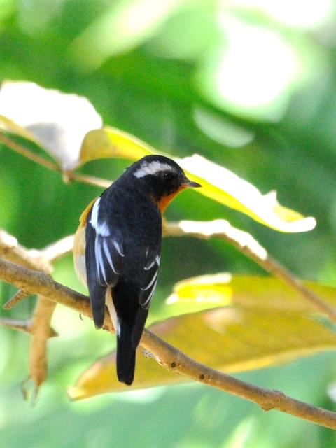 ⑤ ムギマキ ♂ 成鳥 カオヤイ国立公園 タイ Khao Yai National Park, Thailand< 2014/01/28 Photo by Kohyuh