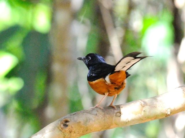 ③ アカハラシキチョウ ♂ 成鳥 カオヤイ国立公園 タイ Khao Yai National Park, Thailand 2014/01/28 Photo by Kohyuh