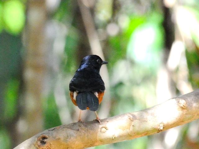 ④ アカハラシキチョウ ♂ 成鳥 カオヤイ国立公園 タイ Khao Yai National Park, Thailand 2014/01/28 Photo by Kohyuh