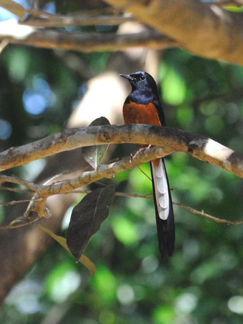 ⑤ アカハラシキチョウ ♂ 成鳥 カオヤイ国立公園 タイ Khao Yai National Park, Thailand 2014/01/28 Photo by Kohyuh