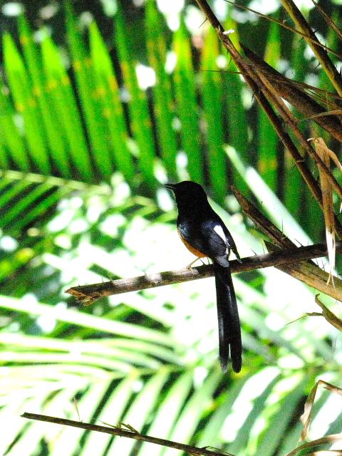 ⑥ アカハラシキチョウ ♂ 成鳥 カオヤイ国立公園 タイ Khao Yai National Park, Thailand 2014/01/28 Photo by Kohyuh