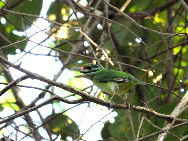 ① クロヒゲゴシキドリ 成鳥 カオヤイ国立公園 タイ Khao Yai National Park, Thailand 2014/01/28 Photo by Kohyuh