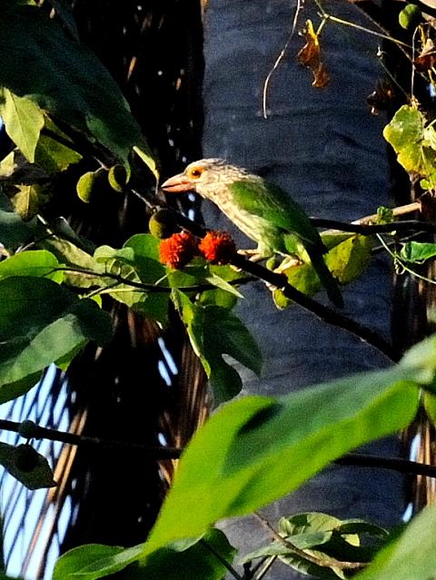 ① シロボシオオゴシキドリ 成鳥 カオヤイ・コテージ タイ Khao Yai National Park, Thailand 2014/01/28 Photo by Kohyuh