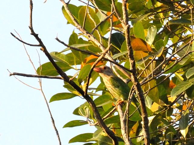 ④ シロボシオオゴシキドリ 成鳥 カオヤイ・コテージ タイ Khao Yai National Park, Thailand 2014/01/28 Photo by Kohyuh