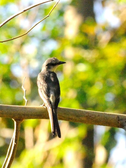 ⑥ チャイロサンショウクイ ♀ 成鳥 カオヤイ国立公園 タイ Khao Yai National Park, Thailand 2014/01/28 Photo by Kohyuh