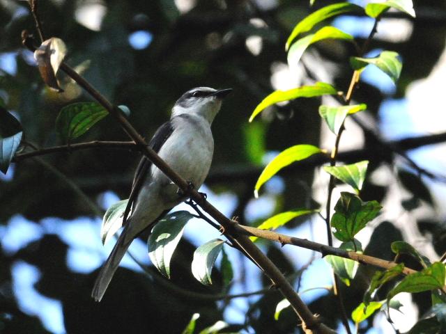 ③ サンショウクイ ♂ 成鳥 カオヤイ国立公園 タイ Khao Yai National Park, Thailand 2014/01/28 Photo by Kohyuh
