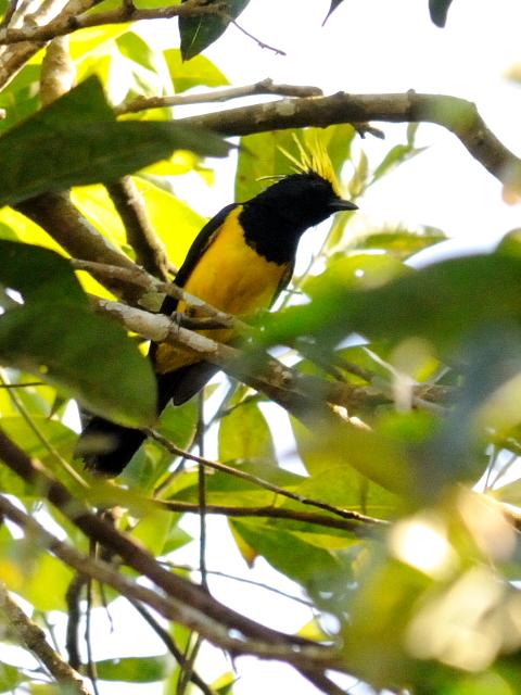 ① サルタンガラ ♂ 成鳥 カオヤイ国立公園 タイ Khao Yai National Park, Thailand 2014/01/28 Photo by Kohyuh