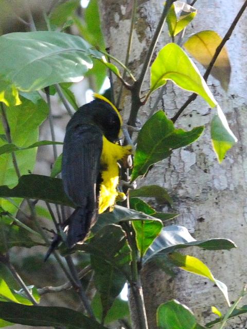 ② サルタンガラ ♂ 成鳥 カオヤイ国立公園 タイ Khao Yai National Park, Thailand 2014/01/28 Photo by Kohyuh