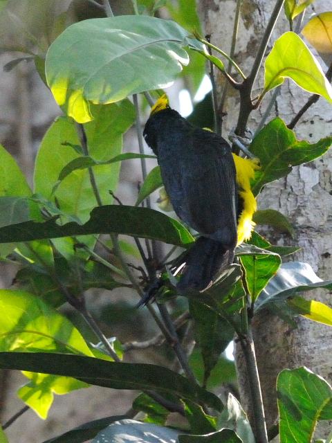 ③ サルタンガラ ♂ 成鳥 カオヤイ国立公園 タイ Khao Yai National Park, Thailand 2014/01/28 Photo by Kohyuh