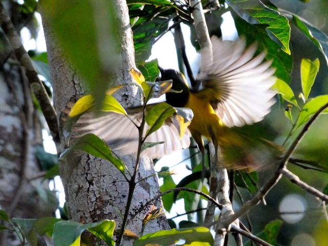 ④ サルタンガラ ♂ 成鳥 カオヤイ国立公園 タイ Khao Yai National Park, Thailand 2014/01/28 Photo by Kohyuh