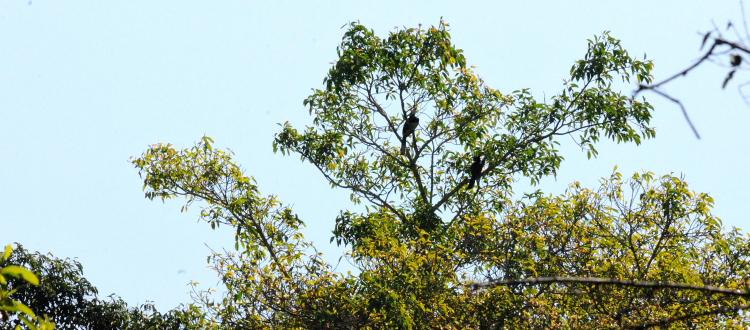 ② キタカササギサイチョウのいる風景 カオヤイ国立公園 タイ Khao Yai National Park, Thailand 2014/01/28 Photo by Kohyuh
