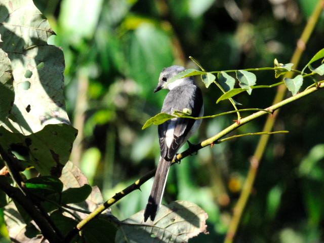 ④ サンショウクイ ♂ 成鳥 カオヤイ国立公園 タイ Khao Yai National Park, Thailand 2014/01/28 Photo by Kohyuh