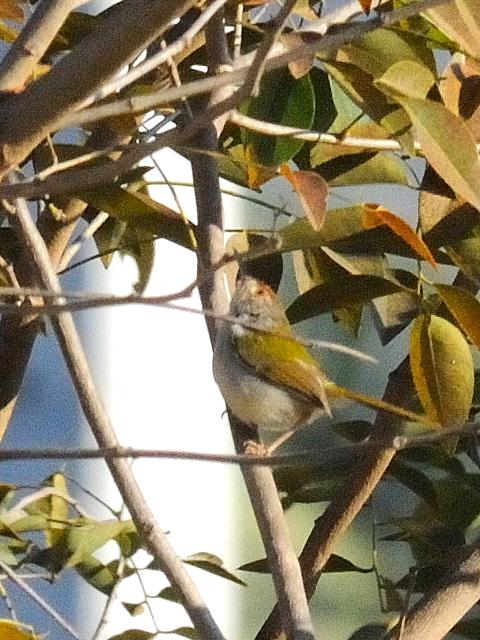 ① オナガサイホウチョウ 成鳥 カオヤイ国立公園 タイ Khao Yai National Park, Thailand 2014/01/28 Photo by Kohyuh