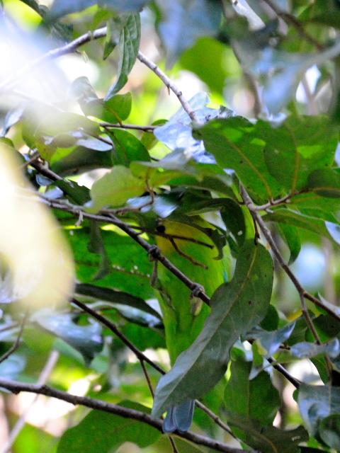 ② アオバネコノハドリ ♂ 成鳥 カオヤイ国立公園 タイ Khao Yai National Park, Thailand 2014/01/28 Photo by Kohyuh