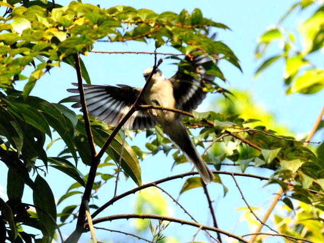 ⑦ チャイロサンショウクイ ♂ 成鳥 カオヤイ国立公園 タイ Khao Yai National Park, Thailand 2014/01/28 Photo by Kohyuh