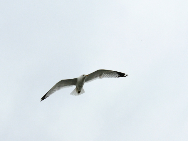 ⑥ クロワカモメ 成鳥 ブロンテ湿地 トロント カナダ Bronte Marsh, Toronto, Canada 2013/05/19 Photo by Kohyuh