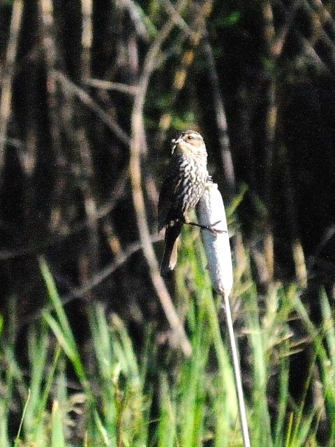 ハゴロモガラス ♀ 成鳥 (3態-2) グランドレイク コロラド 米国 Grand Lake, Colorado, America 2013/06/30 Photo by Kohyuh