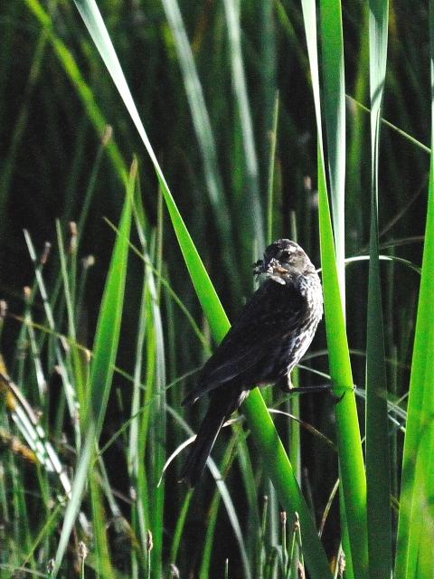 ハゴロモガラス ♀ 成鳥 (3態-3) グランドレイク コロラド 米国 Grand Lake, Colorado, America 2013/06/30 Photo by Kohyuh