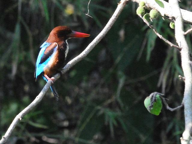 ③ アオショウビン 成鳥 カオヤイ・コテージ タイ Khao Yai National Park, Thailand 2014/01/29 Photo by Kohyuh